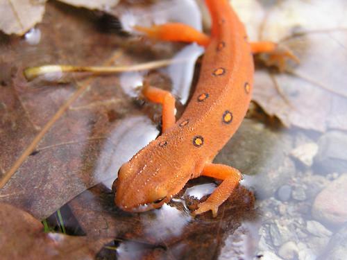 animal eastern newt notophthalmus viridescens pockafwye specanimals shesnuckinfuts