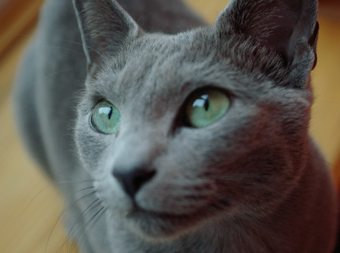 Gray cat, green eyes | Flickr - Photo Sharing! Gray And White Cat With Green Eyes