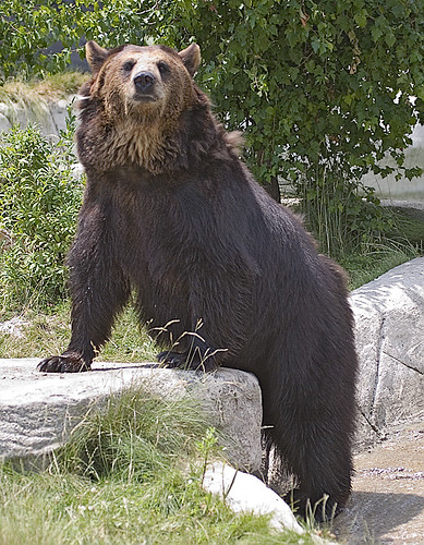 Syrian Brown Bear, Polly