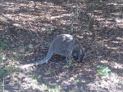 viverridae(0.0), wallaby(1.0), animal(1.0), marsupial(1.0), mammal(1.0), kangaroo(1.0), fauna(1.0), wildlife(1.0),