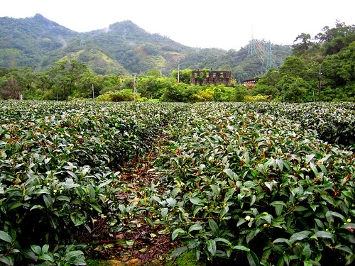 Taiwan Tea Fields