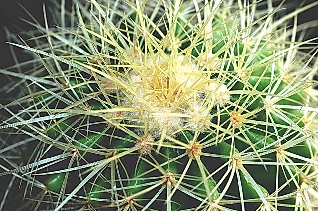 Echinocactus grusonii. Credit: Mike Keeling