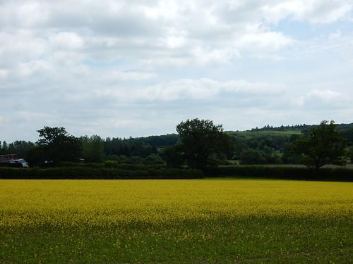 Mustard field ?