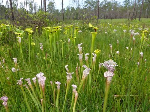 sarraceniaflava blackwaterriverstateforest sarracenialeucophyla