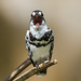 uttampegu posted a photo:	Pied Kingfisher opening mouth