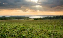 Vineyard Sun Rays