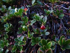 blossom(0.0), berry(0.0), flower(0.0), berberis(0.0), macro photography(0.0), huckleberry(0.0), produce(0.0), food(0.0), bilberry(0.0), evergreen(1.0), shrub(1.0), leaf(1.0), tree(1.0), plant(1.0), nature(1.0), arctostaphylos uva-ursi(1.0), flora(1.0), green(1.0), lingonberry(1.0),