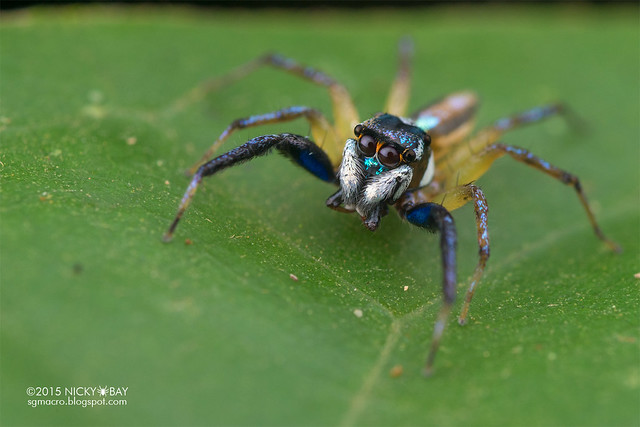 Jumping spider (Salticidae) - DSC_4777
