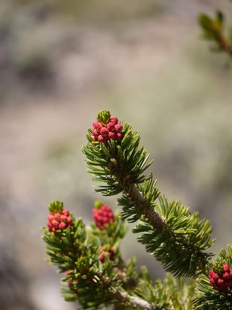 bristlecone pine male cones