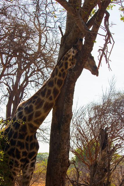 Giraffe in a tree