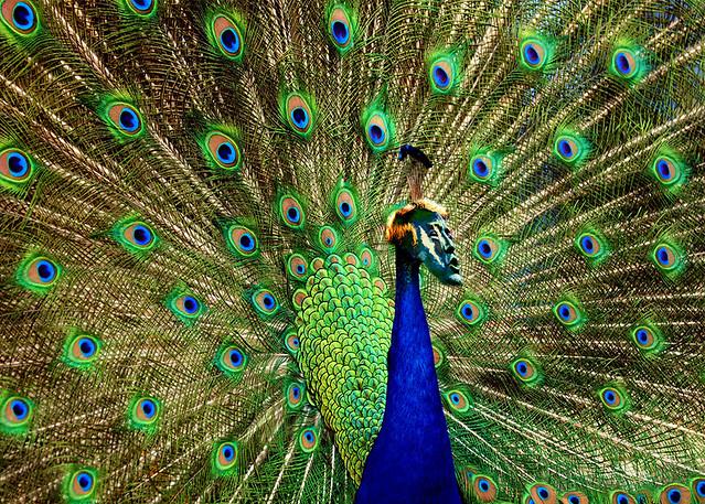 peacock trumpeting