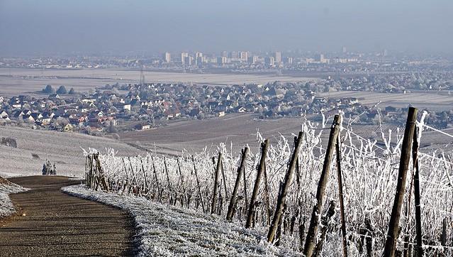(EXPLORE) Les vignes givrées, Wintzenheim et Colmar  -  The covered in frost vineyards