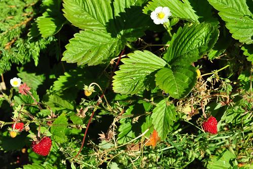 Odenwald Juni 2015 Wildkräuter Blüte Wald-Erdbeere Fragaria vesca Foto Brigitte Stolle