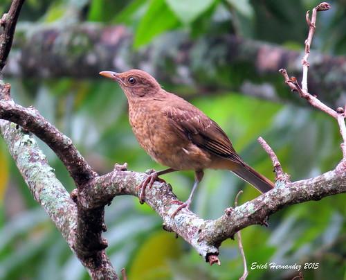 birdwatcher turdusgrayi zorzalpardo claycoloredthrush turdusgray avesdeelsalvador
