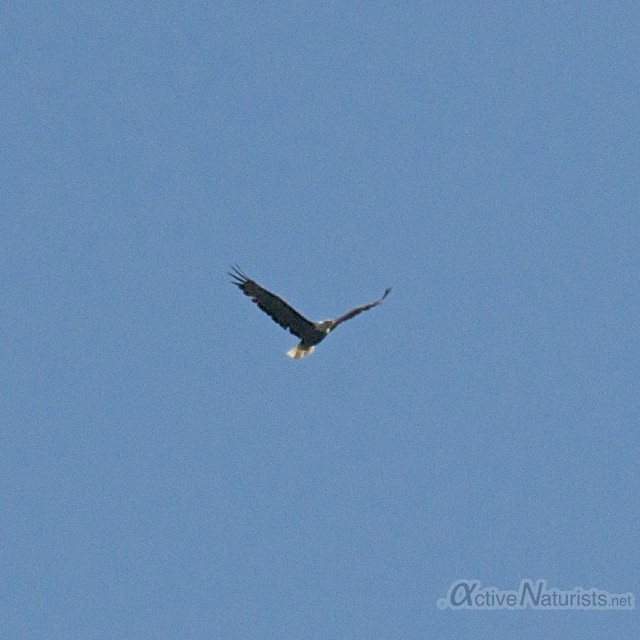 bald eagle 0000 Harriman State Park, New York, USA