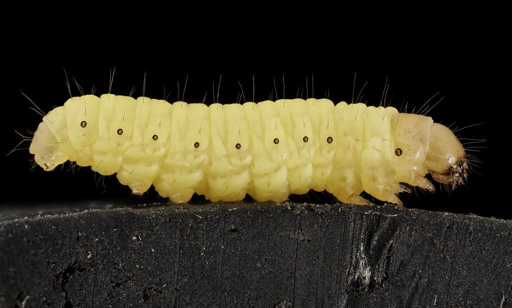 Wax worm, U, Maryland, side_2015-07-13-13.01.17 ZS PMax