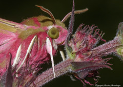 Deilephila elpenor, known as the Elephant Hawk-moth, is a large moth of the Sphingidae family.