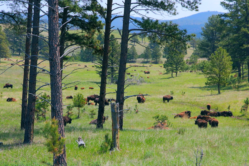 IMG_0569 Bison, Custer State Park