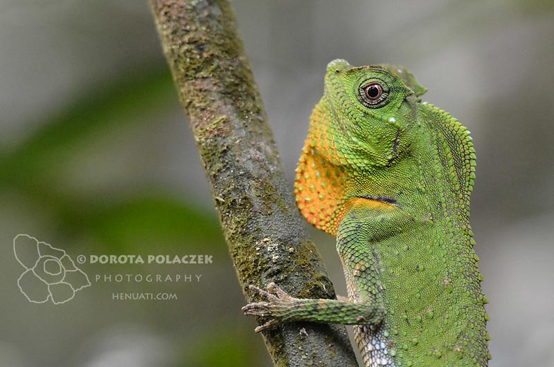Hump-nosed Lizard (Lyriocephalus scutatus)