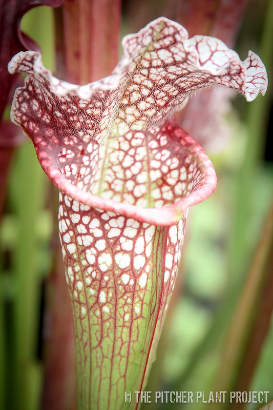 "Sarracenia leucophylla ""Purple Lips"" x (rosea ""Big Mama"" x leucophylla ""Purple Lips"")"