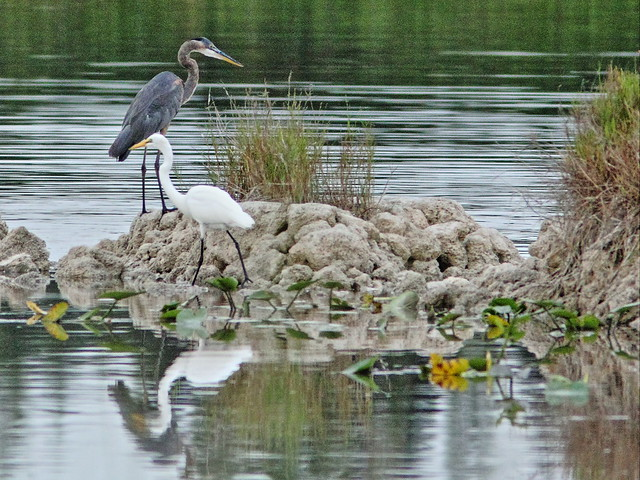 Great Blue Heron with Great Egret 20150802