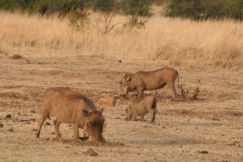 Warthogs rooting