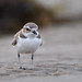 Snowy Plover checks me out by Patricia Ware