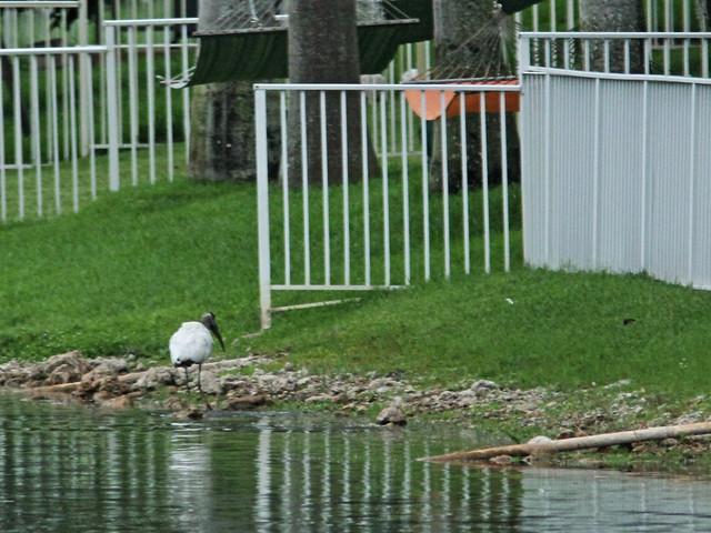Wood Stork 4-20150808
