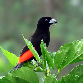 Passerini's Tanager | by magnificentfrigatebird