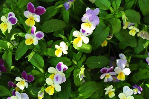 Wildes Stiefmütterchen Viola tricolor Balkon Balkonien Pflanzen Wildpflanzen Wildblumen Balkonkasten Juni 2015 Foto Brigitte Stolle