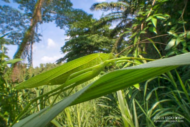 Katydid (Tettigoniidae) - DSC_3407