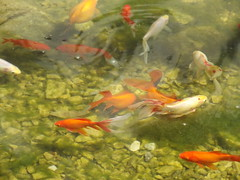 Great Glasshouse - National Botanic Garden of Wales - fish in a pond