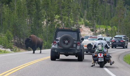 Yellowstone road bison