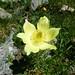 Alpine Pasque flower (Pulsatilla alpina subsp. apiifolia) (Kerrie Porteous)
