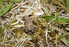 American toad, immature