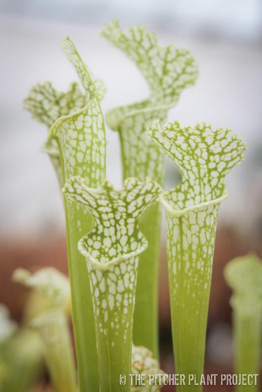 Sarracenia leucophylla - Anthocyanin Free