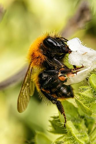 Bumblebee in Basil V