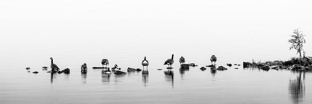 Geese in the dawn haze