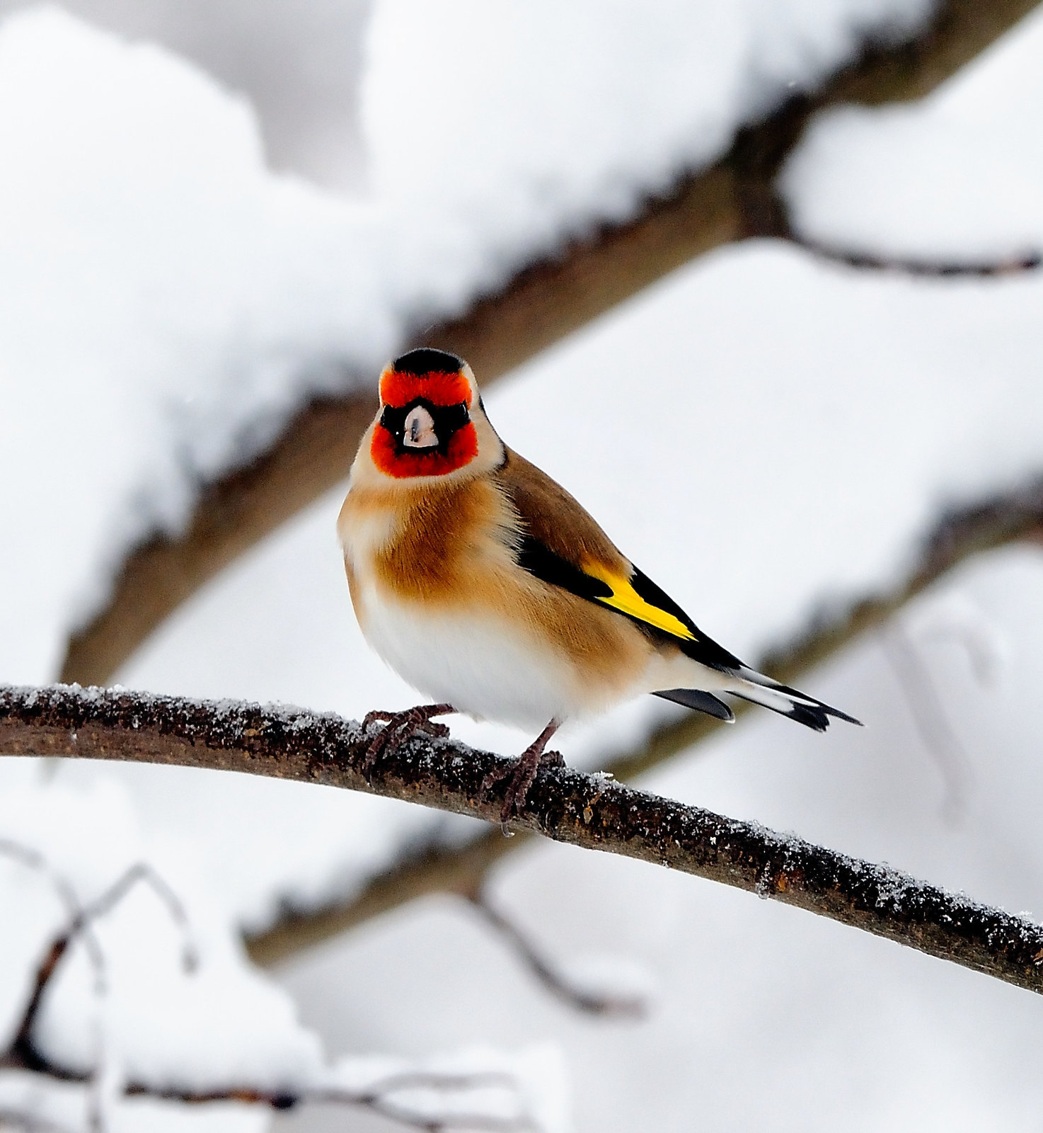 Goldfinch. Credit chapmankj75