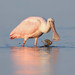 Roseate Spoonbill with Sooty Sea Hare by toryjk