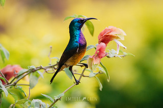 Variable Sunbird (Cinnyris venustus) male