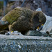 May 1, 2015 - 17:01 - Kea #6 pushes rocks over the wall.  Blog Post here-Cheeky, Comical & Curious Kea- The Mountain Parrot
