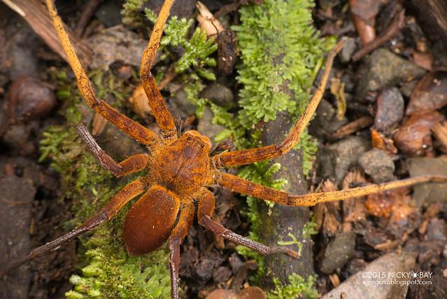 Huntsman spider (Heteropoda sp.) - DSC_4495