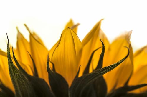 Sunflower // 10 07 15