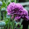 Hybrid Poppy in @puddytatpurr 's garden. Pretty much like this one @vicksg85 ?? :two_hearts: