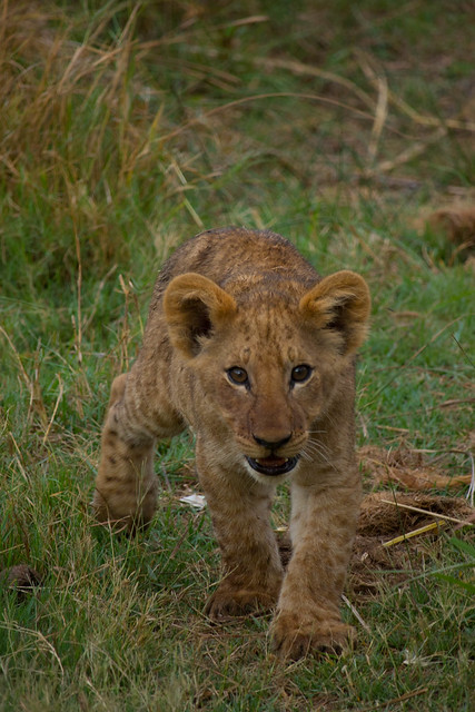 Fierce Lion Cub