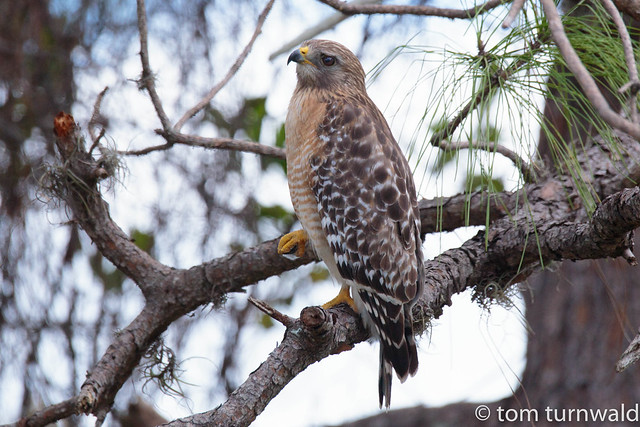 Explored 1.17.2017.     Red Shouldered Hawk., Canon EOS 6D, Sigma 150-600mm f/5-6.3 DG OS HSM | C