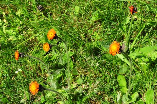 Odenwald Juni 2015 Wildkräuter Blüte Orangerotes Habichtskraut Hieracium aurantiacum Foto Brigitte Stolle