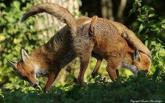 Foxes fighting.