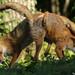 Foxes fighting. by Sandra Standbridge.